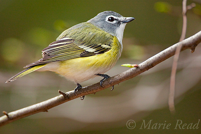 Blue-headed Vireo (Vireo solitarius), spring, New York, USA