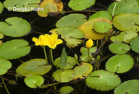 WP12-502z  Fringed Water Lily Nymphoides peltatus