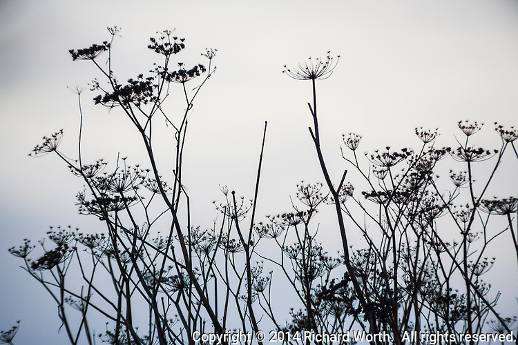 Dried brush, silhouetted against an overcast winter sky at Oyster Bay Regional Park in San Leandro, California.