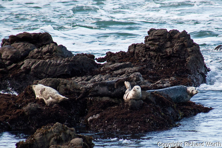 A mx of adult harbor seals and juveniles or pups basking on the rocks off Bean Hollow State Beach, CA.