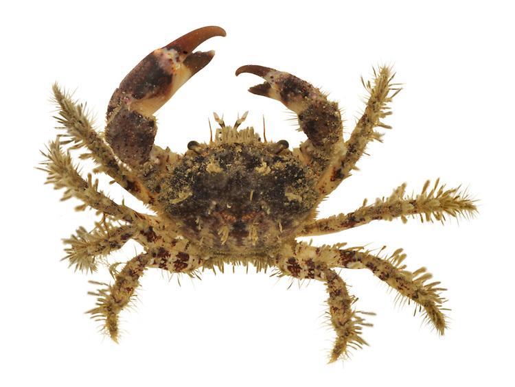 Hairy Crab - Pilumnus hirtellus