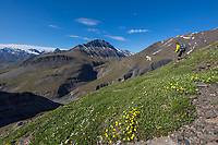 Backpacker descends slope with ross aven blossoms on the tundra in the continental divide of the Brooks Range, Gates of the Arctic National Park, Alaska.