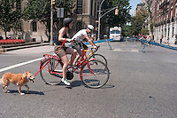 New York, NY -  15 August 2009 - Woman on a red jorg & olif Dutch City Bike, with a friend on a road bike, cycle up Park Avenue with a dog during Summer Streets. Summer Streets, the second of three car free Saturdays where the City's Department of Transportation (DOT) closes almost seven miles of traffic for pedestrians, cyclists, and skaters. The Car-Free event opened up almost 7 miles of car-free streets along Centre Street, Lafayette Street, Fourth Avenue and Park Avenue, from the Brooklyn Bridge to 72nd Street and Central Park