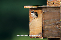 01272-00516 Tree Swallow (Tachycineta bicolor) female at nest box, Marion Co.   IL