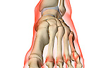 An anterior view of the bones of the foot. The surface anatomy of the body is semi-transparent and tinted red. Royalty Free