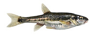 Minnow Phoxinus phoxinus Length 4-10cm<br /> The Minnow is a small but attractively marked fish with a slim, streamlined body and rounded fins. Shoals are seen in shallows in spring but move to deeper water in winter. Adult at most times of year has a silvery body, darkest above and with dark blotches along the flanks; a breeding male has a red belly. Minnows are widespread and common in rivers and lakes.