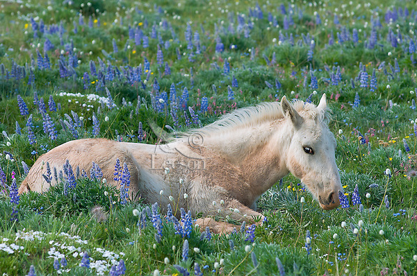 Wild Horse or feral horse (Equus ferus caballus) colt--has recently rolled in mud.  Western U.S., summer.
