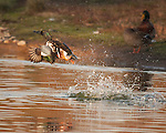 Northern Shoveler Explodes Off Water