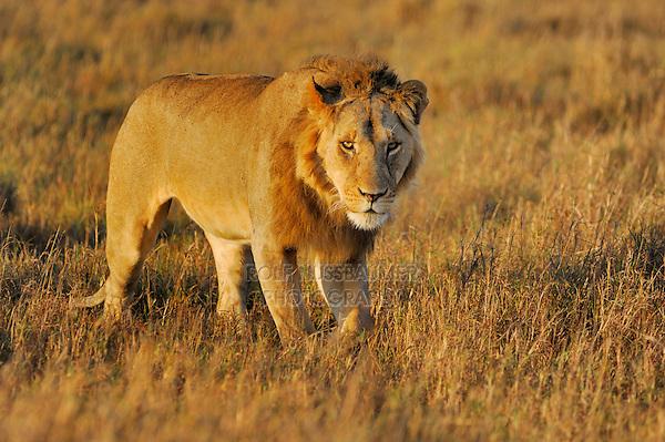 African Lion ((Panthera leo), male, Masai Mara, Kenya, Africa