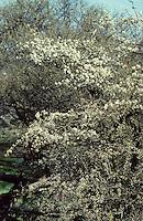 Gewöhnliche Schlehe, Schwarzdorn, Prunus spinosa, Blackthorn, Sloe