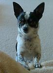 Chihuahua Jack dob 12/16/06 8.8lb male