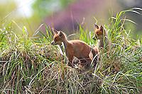 Rotfuchs, Rot-Fuchs, Jungfuchs, Jungfüchse, Welpe, Welpen vor dem Bau, Höhle, Fuchsbau, Fuchs, Vulpes vulpes, red fox, Le Renard roux, Renard commun, Renard rouge