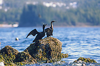 Double-crested Cormorants on rock outcrop in Prince William Sound, Alaska