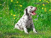 Marek, ANIMALS, REALISTISCHE TIERE, ANIMALES REALISTICOS, dogs, photos+++++,PLMP2904,#a#, EVERYDAY