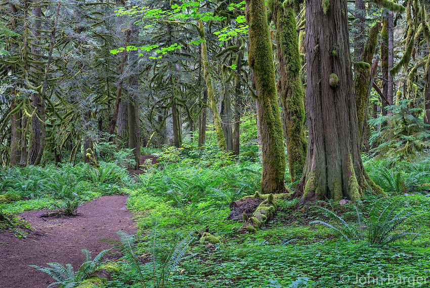 ORCAN_D179 - USA, Oregon, Mount Hood National Forest, Salmon-Huckleberry Wilderness, Salmon River Trail and lush spring forest with western red cedar and bigleaf maple.