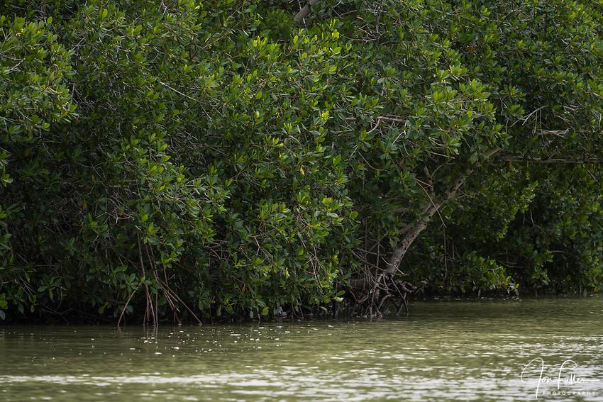 Mangroves growing along the brackish marine estuary in the Ria Lagartos Biosphere Reserve, a UNESCO World Biosphere Reserve in Yucatan, Mexico.