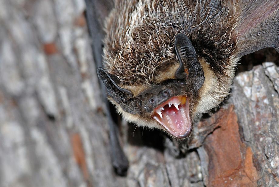 Tweekleurige vleermuis (Vespertilio murinus).