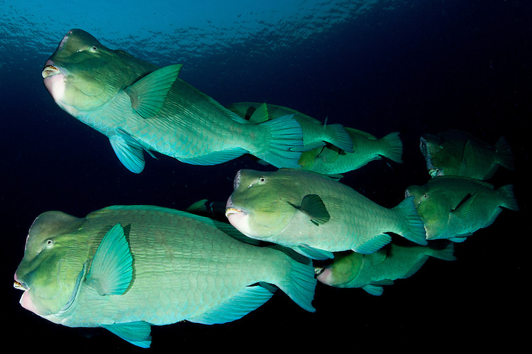 Large school of bumphead parrotfish: Bulbometopon muricatum, found around the liberty wreck, Bali