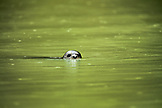 USA, Alaska, Redoubt Bay, Big River Lake, a seal hanging out in the waters near Wolverine Cove