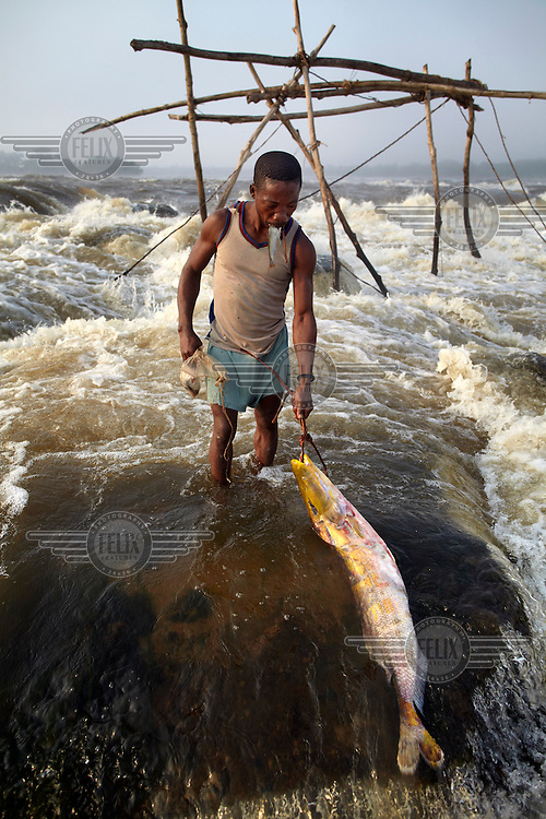 A fishermen with a huge carp just removed from a trap attached to a wooden scaffold at Boyoma Falls (known locally as Wagenia Falls). To keep his hands free he holds a small fish in his mouth. This is the last of seven cataracts below which the Lualaba River becomes the Congo. For generations members of the Wagenia tribe have built and maintained these structures in the same manner described by Henry Morton Stanley, after whom the falls were also once named, during his navigation of the Congo in 1874-77.