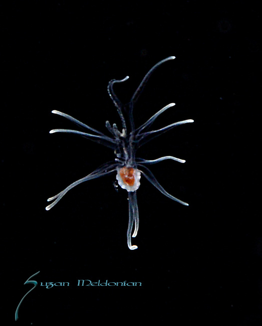 Seastar larva late brachiolaria stage<br /> The mouthful is the developing adult body