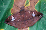 Noctuid Moth (Chamyna)  protective or dead-leaf coloration, Costa Rica.