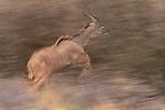 Greater kudu leaping, Zimbabwe, Africa