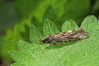 Köcherfliege, Wassergeistchen, Hydropsyche spec., Köcherfliegen, caddisfly, sedge-fly, rail-fly, caddisflies, sedge-flies, rail-flies, Trichoptera