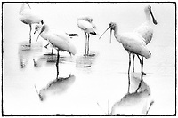 A group of Roseate Spoonbills, preening in a pond, Photographed on TMAX 3200 black and white film, Merritt Island, Florida, 1995, (Photo by Brian Cleary/bcpix.com)