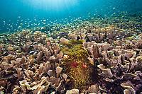 Hard Coral Colony, Echinopora pacificus, Raja Ampat, West Papua, Indonesia, Indo-Pacific Ocean