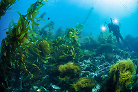A scuba diver explores a kelp forest growing near the Santa Barbara Island, Channel Islands National Park, California, USA, Pacific Ocean