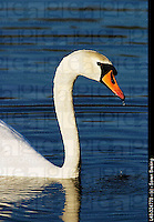 Mute swan (Cygnus olor), a white swan, swimming in lake with wet head.
