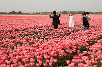 "Hollande, région des champs de fleurs, Lisse, champs de tulipes et touristes chinois de Hong-Kong en voyage de noce en Europe et ici réalisant des photos en habits de mariés // Holland, ""Dune and Bulb Region"" in April, Lisse, fields of tulips, the town of Lisse away and tourists from Hong-Kong on their honeymoon in Europe and here making pictures dressed in married."