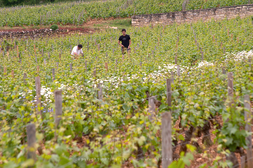 working the soil in the vineyard le montrachet puligny-montrachet cote de beaune burgundy france