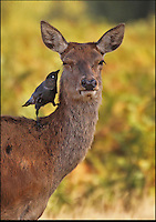 BNPS.co.uk (01202 558833)<br /> Pic: JonHawkins/BNPS<br /> <br /> Red deer doe gets her ears cleaned by a cheeky jackdaw..<br /> <br /> Photographer Jon Hawkins has reaped the benefits of many early morning starts this autumn with a stunning set of pictures from Bushy Park near Hampton Court of the magnificent Red Deer.