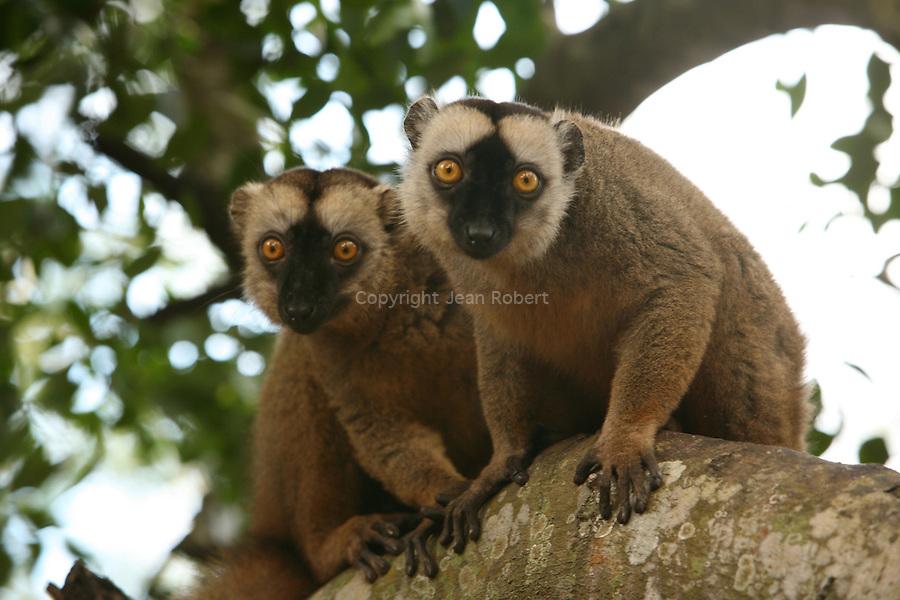 Maki de Mayotte ou Komba en mahorais. Lémurien (Lemur fulvus mayottensis).Plusieurs dizaines de milliers de makis peu farouches peuplent les forêts de Mayotte. Comores. Océan Indien.Maki. Mayotte island. Comores archipelago. Indian oceanLa star des forets de Mayotte est le maki ou Komba en mahorais. Ce lemurien (Eulemur fulvus mayottensis) a sans doute ete introduit par lhomme depuis Madagascar.  Animal social, il vit en groupe dune dizaine dindividus et se nourrit de fleurs, feuilles et fruits des arbres et lianes