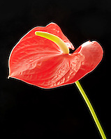 Anthurium or Flamingo Flower.