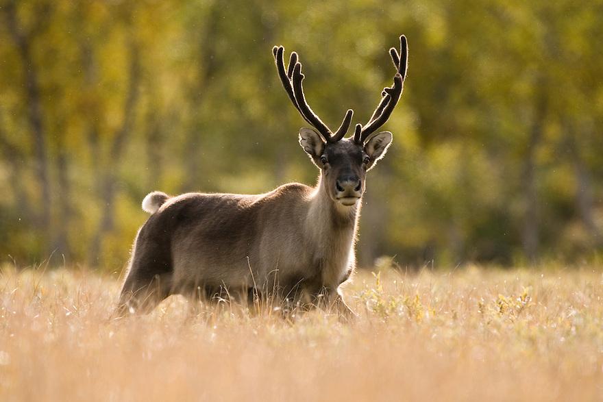 Reindeer (Rangifer tarandus), Sarek National Park, Laponia World Heritage Site, Sweden