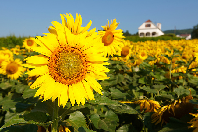 Field of Sunflower flowering heads