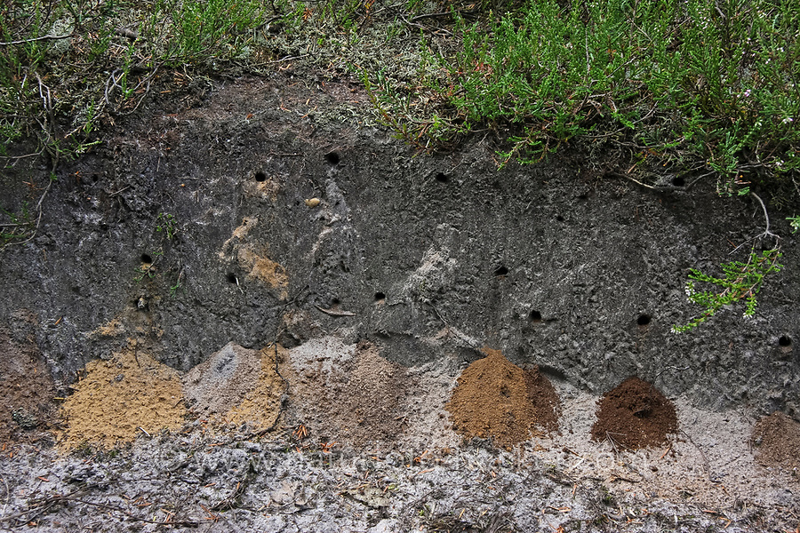 Kotwespe, Mellinus arvensis, Grabwespe, Nest, Nester, Nesthaufen, field digger wasp