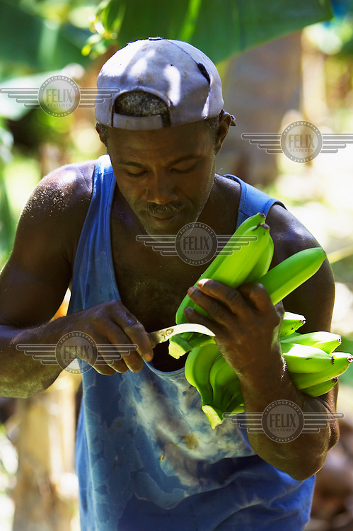 A farmer prepares Fairtrade bananas for British supermarket Sainsbury's, which now sells only Fairtrade bananas.
