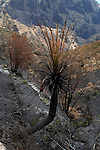 Palm tree after forest fires of July 2007, Masca, Tenerife, Canary Islands.