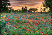 Firewheels in the Texas Hill Country - it doesn't get much more colorful than this. ..On a spring evening near Cypress Mill, the bluebonnets have given way to fields of Texas Wildflowers. In this image, firewheels and greenthread show their colors, and the cacti are not far behind them in blooming. The sky was lit up with sunset, helping add to the atmosphere of this Texas Wildflower image.