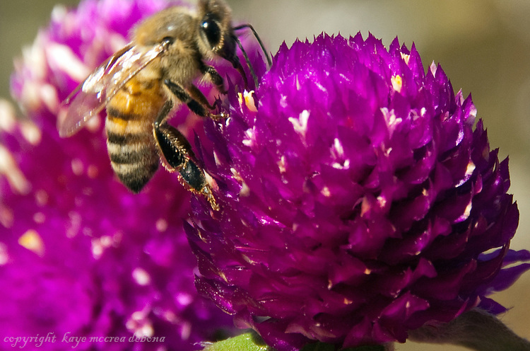 Gomphrena and Bee