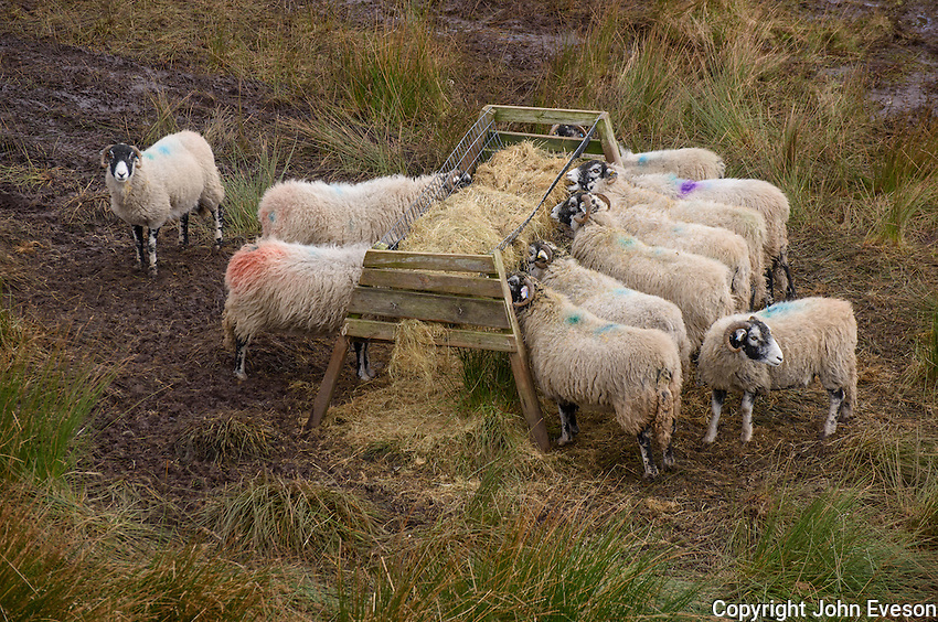 Swaledale ewes eating from a hay rack in a field, Chipping, Lancashire.
