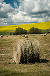Round bales in the fields in the Palouse Valley with rape seed in bloom in the background