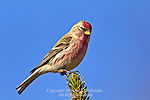 Common Redpoll, Acanthis flammea
