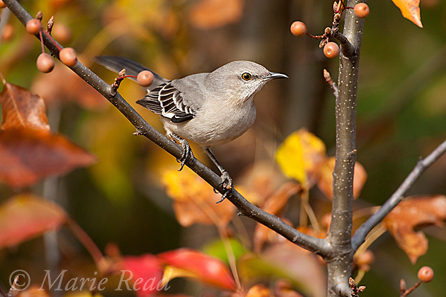Northern Mockingbird (Mimus polyglottos) in Bradford Pear tree in autumn, Ithaca, New York, USA