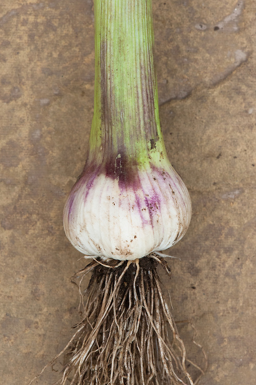 Garlic 'Messidrome', a French softneck variety.