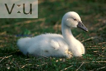 Mute Swan cygnet. ,Cygnus olor,